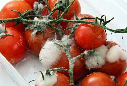 カビ トマト 白 ふわふわ